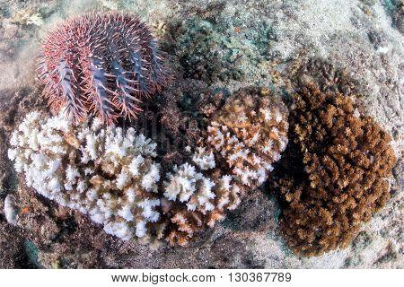 Sea Star Crown Of Thorns