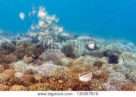 school of butterfly fish underwater close up portrait
