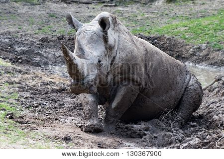African White Rhino Portrait While Relaxing