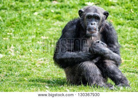 Ape chimpanzee monkey looking at you portrait