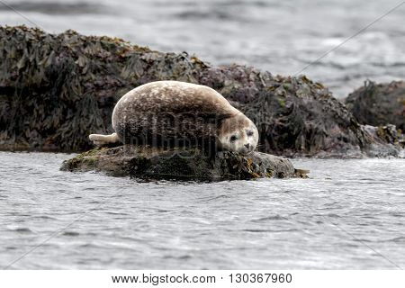 Seal Relaxing On A Rock In  Iceland