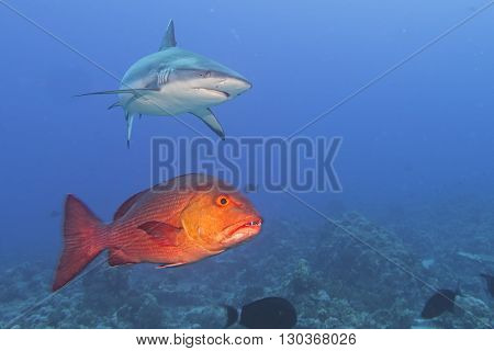 Grey White Shark Jaws Ready To Attack A Red Grouper
