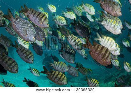 Sergeant Fish Bait Ball Underwater