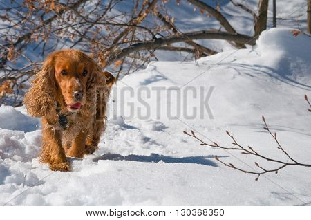 A Dog In The White Snow Walking At You