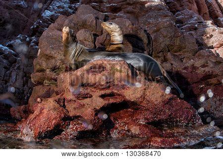Sea Lion On The Rocks