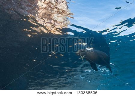 Sea Lion Seal Underwater Holding Seastar