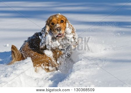 Young Cocker Spaniel Dog Looking At You While Playing On The Snow