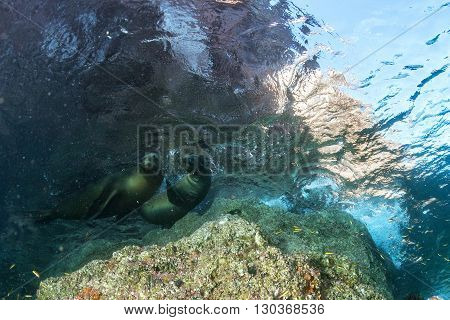 Sea Lion Seal Underwater While Diving Galapagos