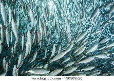 Sardine School Of Fish Underwater