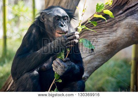 Bonobo Portrait Female Ape Close Up