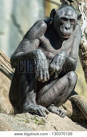 Bonobo Chimpanzee Ape Portrait Close Up