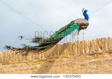 A beautiful bright peacock with colorful feathers.