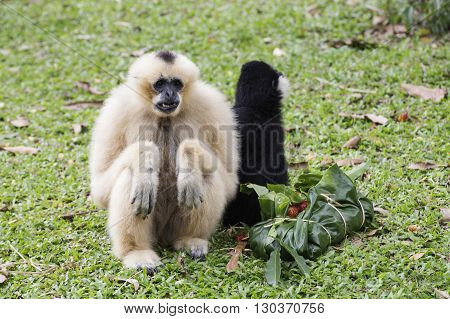 White Cheeked Gibbon or Lar Gibbon eating the fruit