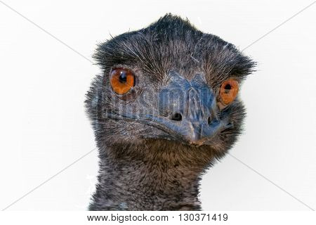 Australian Ostrich Head Close Up Looking At You On White Background