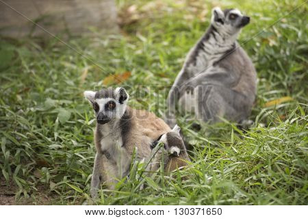 Family of ring-tailed lemurs standing on the floor