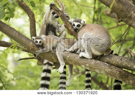 Close up of a ring-tailed lemur with family on the tree