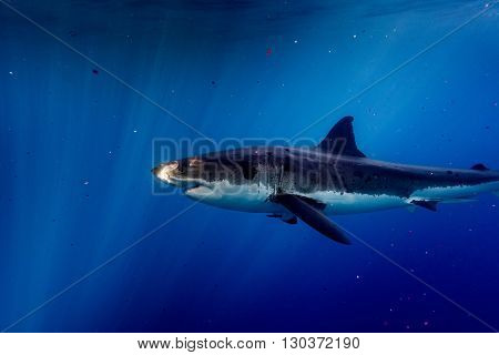 Great White Shark Ready To Attack