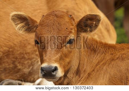 A Veal Portrait While Looking At You