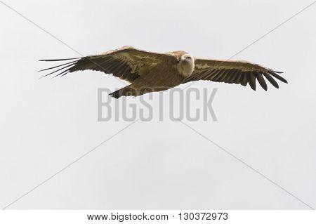 Gryphon Flying