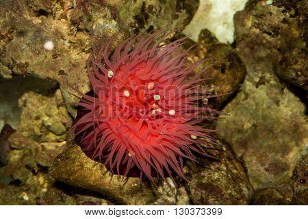 Zool Sea Anemone Actinia Equina