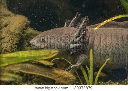 Axolotl Mexican Salamander Portrait Underwater