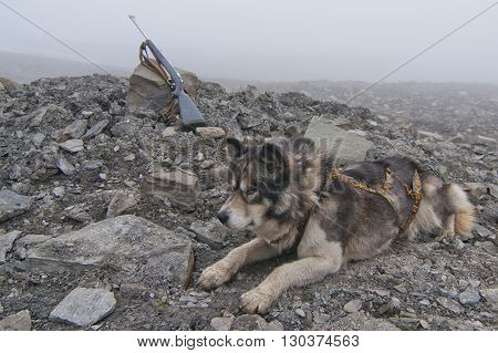 Husky Dog With Hunting Rifle On Foggy Day