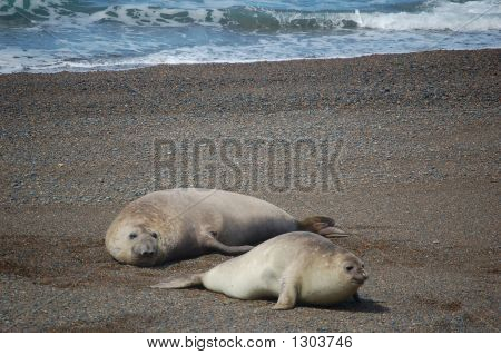 Sea Seal Love