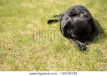 Young black pug is sleeping in the grass