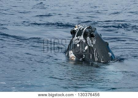Humpback Whale Head Comuing Up In Deep Blue Polynesian Ocean