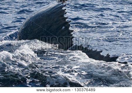 Humpback Whale Detail In Polynesian Sea