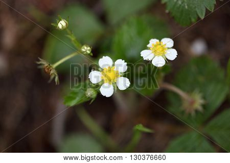 Flowers of wild woodland strawberries Fragaria vesca.