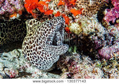 Leopard Eel Mooray Portrait
