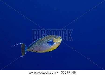 Surgeon Fish In The Blue