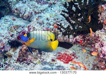 Adult Emperor Angel Fish  Portrait