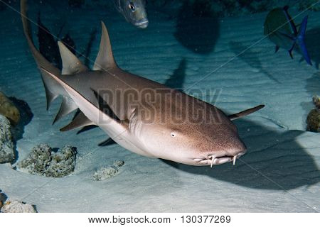 Nurse Shark Close Up On Black At Night