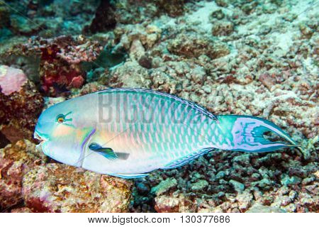 Parrot Fish Portrait In Maldives