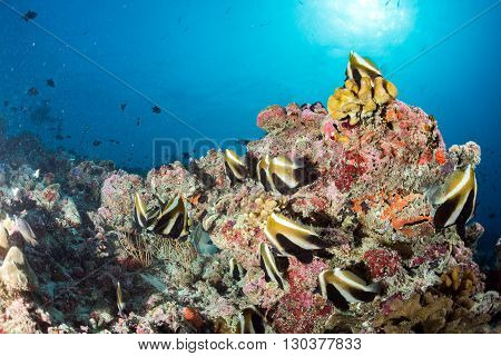 school of butterfly fish in maldives diving scuba