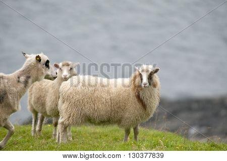 Ram Sheep Flock On The Green Grass Background