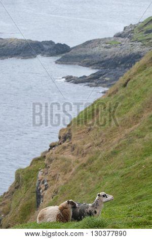 Sheep Ram In Iceland