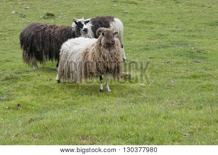 Sheep Ram In Far Faer Oer Island Landscape