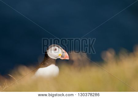 A Colorful Puffin Portrait In Far Faer Oer Cliffs