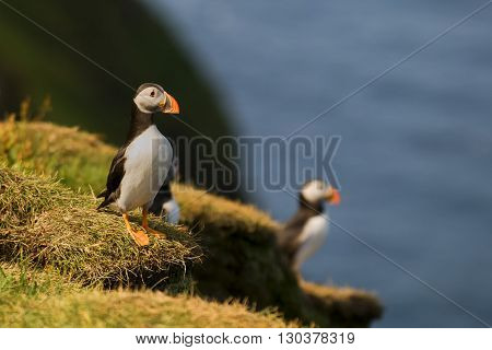 Two Colorful Puffin Portrait Isolated In Natural Enviroment On Blue Background