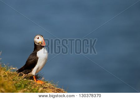 A Colorful Puffin Portrait Isolated In Natural Enviroment On Blue Background