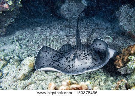 Giant Blackparsnip Stingray Fish