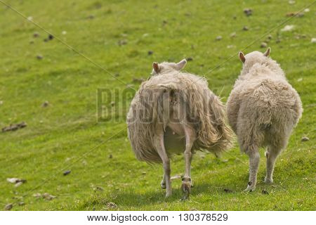 Two Sheep With Long Hairy Wool Taken From Back In The Green Grass Background
