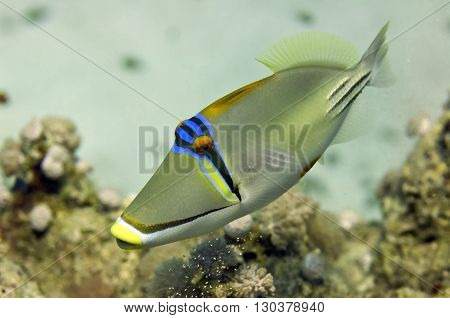 Red Sea Picasso Trigger Fish Close Up Portrait