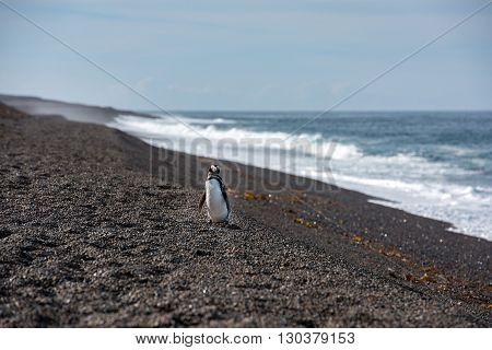 Baby Patagonia Penguin Close Up Portrait