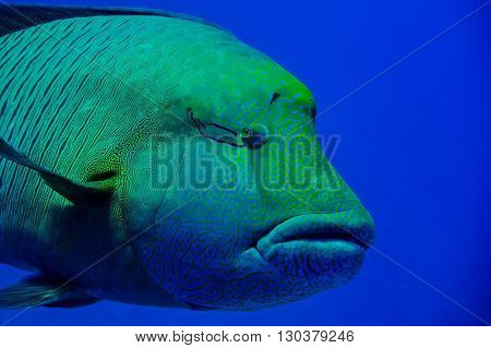 Red Sea Napoleon Fish Close Up Portrait