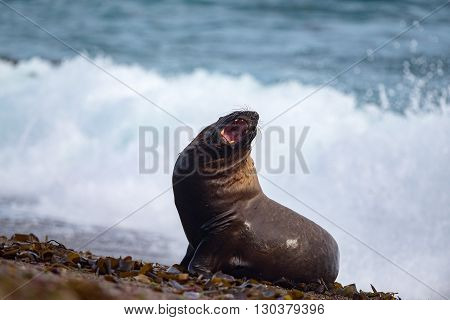 Roar Of Male Sea Lion Seal