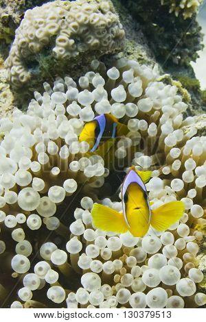Red Sea Clown Fish Family Portrait
